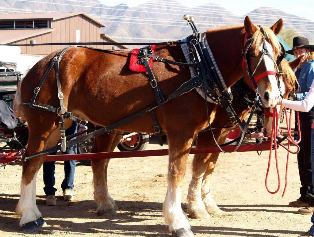 Belgian Draft Horses At Westworld of Scottsdale for Arizona Draft Horse and Mule Association Show